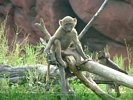 Young Olive Baboon - Anubis Baboon