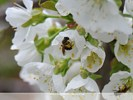 Bee on Cherry Tree Flower