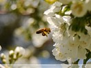 Pollen ladened bee approaching cherry blossom