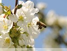 Honey Bee approaching cherry blossom