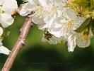 Honey Bee on Cherry Blossom