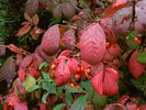 Winged spindle - Burning bush - Euonymus alatus