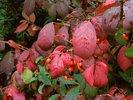 Winged spindle - Burning bush - Euonymus alatus