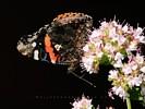 Butterfly on Oregano Flower