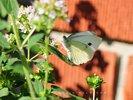White Butterfly on Oregano Flower