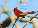 Animals - Wildlife - Birds - Male Cardinal
