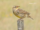 Animals - Wildlife - Birds - Western Meadowlark on a Fence Post