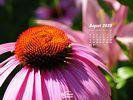 Nature Made - Flowers - Coneflowers - Echinacea - Close-up