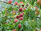 Foods - Fruit - Red Haven Peach Tree