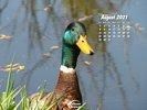 Animals - Wildlife Birds Waterfowl - Wild Duck - Mallard