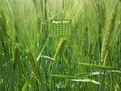 Agriculture- Crops - Barley Field