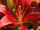 Nature Made - Flowers Lily Family - Red Lily