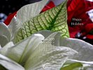 Holidays - Christmas - Happy Holidays - White Poinsettia