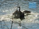 Animals - Birds - Canada Geese Fighting