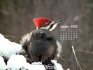 Animals - Wildlife - Birds - Woodpecker