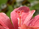 Nature - Flowers Hibiscus - In search for the perfect raindrop