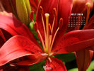 Nature - FLowers - Red Lily
