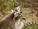 Animals - Wildlife - Primates - Ring-tailed Lemur