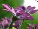 Nature Made- Flowers - Daisy Family - Purple Daisy