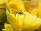 Animals - Wildlife - Insects - Spiders - Spider exloring a yellow Begonia flower