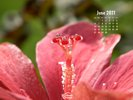 Nature Made - Flowers - Pink Hibiscus - In search for the perfect raindrop