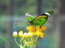 Butterfly species specifically bred for March 17 - Happy St. Patrick's Day