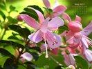 Nature Made - Flowers - Pink Fuchsia