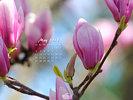 Nature Made - Magnolia Tree Flowers