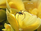 Animals - Wildlife Insects Spiders - Spider exloring a yellow Begonia flower