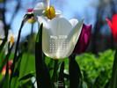 Nature - Flowers - White Tulip