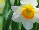 Nature - FLowers - Narcissus - Daffodil