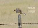 Animals - Wildlife - Birds - Western Meadowlark Taking Flight from a Fence Post
