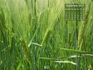 Agriculture - Barley Field