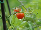 Agriculture - Cherry Tomato Plant After Rain