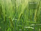 Agriculture - Crops - Barley Field