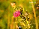 Nature - Flowers - Wildflowers - Bull Thistle - Cirsium vulgare