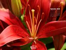 Nature Made - Flowers - Lily Family - Red Lily