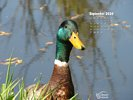 Animals - Wildlife - Birds - Waterfowl - Wild Duck - Mallard