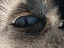 In the eye of a Siamese Cat