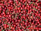 Cherry Harvest