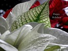 Happy Holidays - White Poinsettia