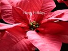 Pink Red Poinsettia