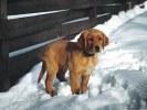 Golden Retriever Puppy Standing in Snow