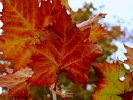 The beauty of a maple leaf in fall