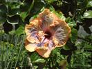 Chinese Hibiscus - Hibiscus rosa-sinensis Evita