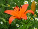 Orange Lily in a Field of Daisies