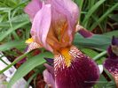 Burgandy and Pink Iris