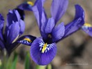 Spring Iris - When Spring Flies By