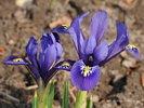 Spring Iris - Spring Has Sprung