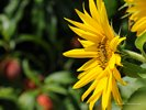 Sunflower [Helianthus annuus]